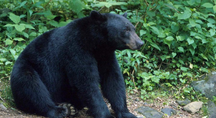 Bear facts for visitors to Gatlinburg TN