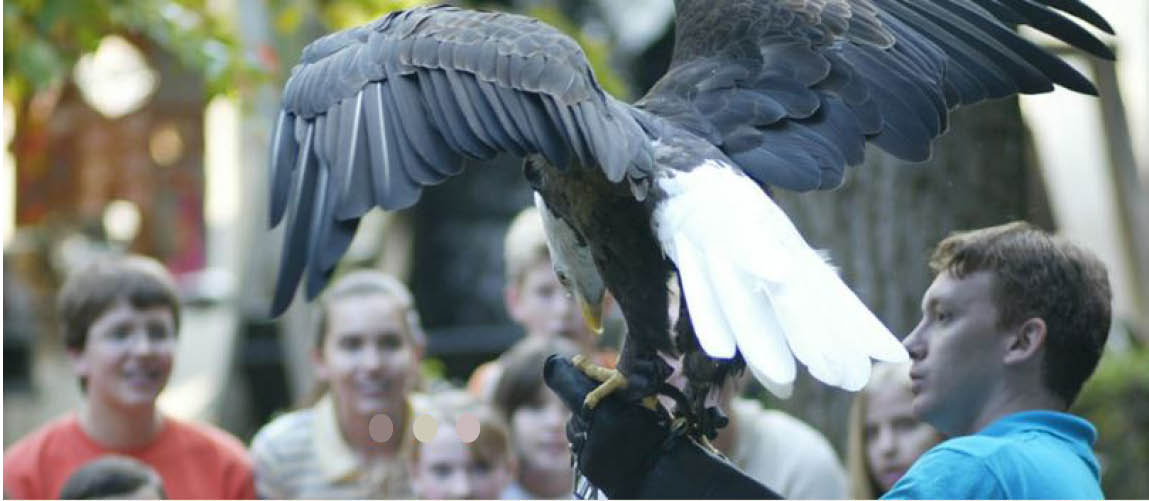 Dollywood technician holds a bald eagle on his arm while audiences watch up-close.
